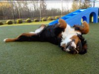a dog rolling around and having fun at doggie daycare in Mercer County, NJ